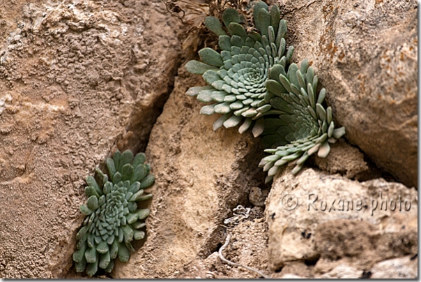 photo plante de rocaille rockery plant amadiya amedy photo kurdistan irak kurdistan iraq. Black Bedroom Furniture Sets. Home Design Ideas